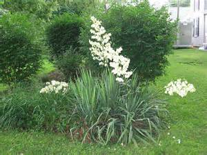 Do You Have A Yucca Plant In Your Garden? How Do You Get It To Bloom?  Question From One Gardener Yesterday. Let Us Know About Your Yucca Plant.